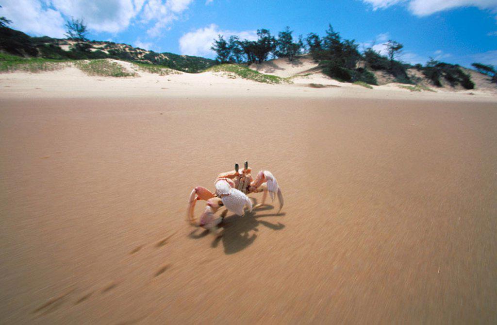 Crab. Bazaruto. Mozambique : Stock Photo