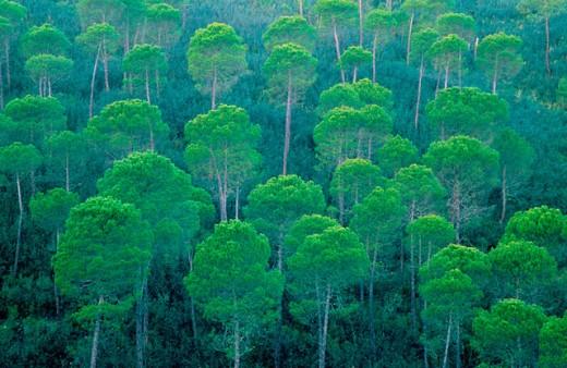 Stock Photo: 1566-038901 Stone Pines (Pinus pinea). Sierra Morena. Andalusia. Spain