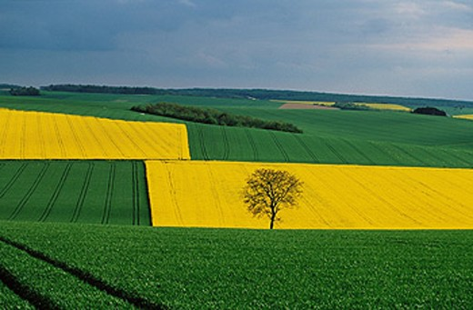Rapeseed. France : Stock Photo