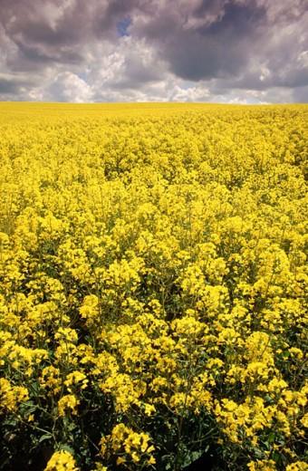 Rape field. Lancashire. England : Stock Photo
