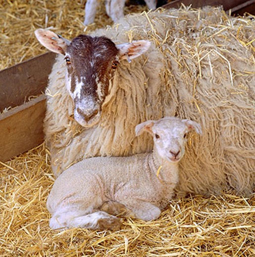 Stock Photo: 1566-041798 Sheep and lamb