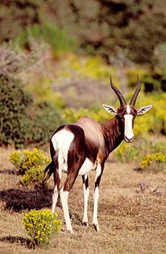 Stock Photo: 1566-044796 Bontebok (Damaliscus dorcas dorcas), endangered species endemic to the Cape area. De Hoop Nature Reserve, W. Cape. South Africa