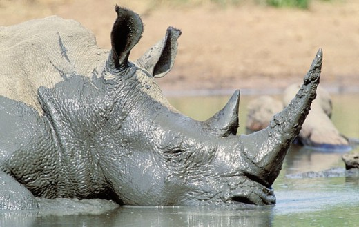 White Rhinoceros (Ceratotherium simum), mud wallowing to cool off and clear skin parasites. Hluhluwe-Umfolozi Park, KwaZulu-Natal, South Africa : Stock Photo