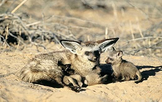 Bat-Eared Fox (Otocyon megalotis), mother nurturing cubs. Kgalagadi Transfrontier Park, Kalahari, South Africa : Stock Photo