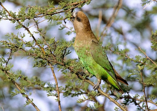 Stock Photo: 1566-044887 Brown-headed Parrot, Poicephalus cryptoxanthus, Kruger National Park, South Africa