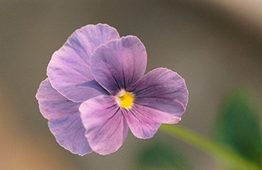 Top view of purple flower. : Stock Photo