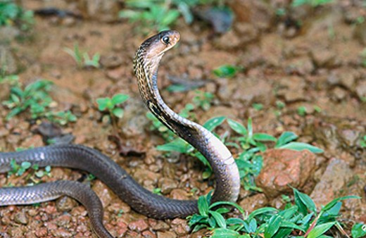 Stock Photo: 1566-048439 Indian spectacled cobra (Naja naja)