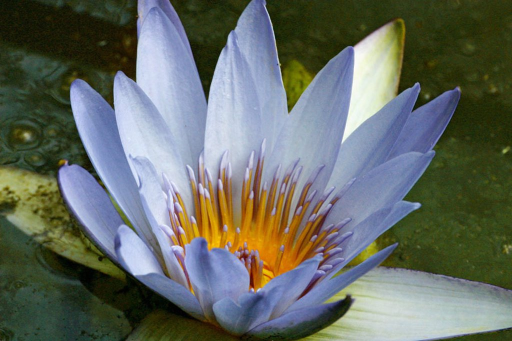 Stock Photo: 1566-048851 Blue water-lily in Furnas, São Miguel island. Azores, Portugal