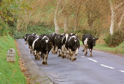 Cows on the road. Azores, Portugal : Stock Photo