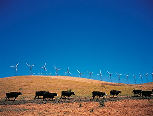 Wind turbines field near Tracy, cows in foreground. California. USA : Stock Photo
