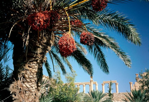 Stock Photo: 1566-053469 Ruins of the old Greco-roman city of Palmira and date palm trees at fore. Syria