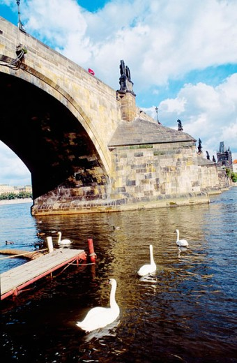 Swans on Vlata river and Charles Bridge. Prague. Czech Republic : Stock Photo