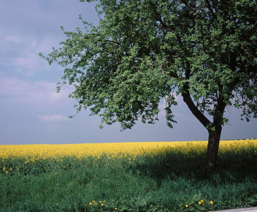 Stock Photo: 1566-056485 Rape field with apple tree. Czech Republic