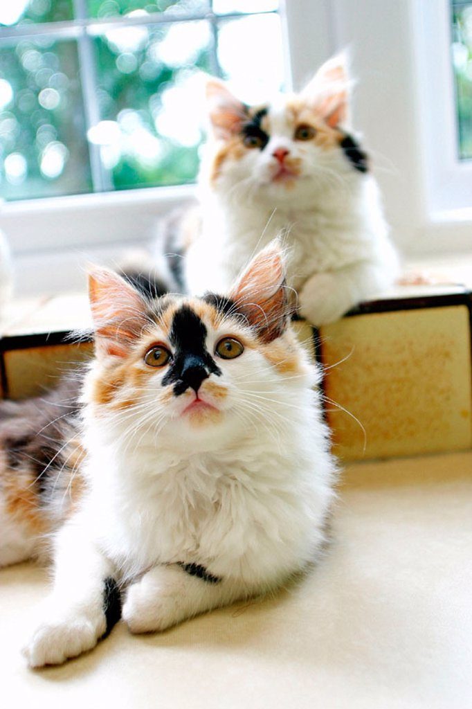 Stock Photo: 1566-056935 Kittens