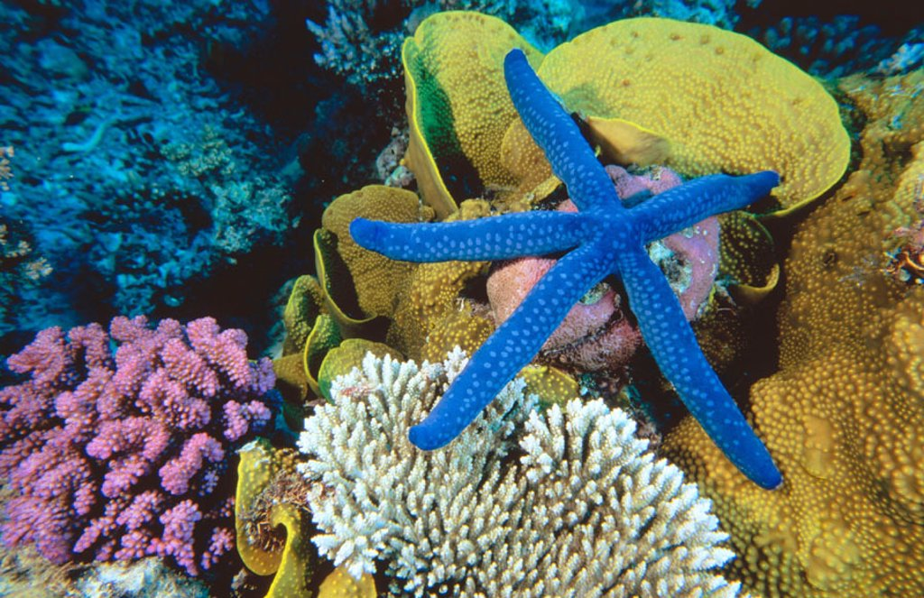 Stock Photo: 1566-057489 Blue Linckia Sea Star (Linckia laevigata). Great Barrier Reef. Australia