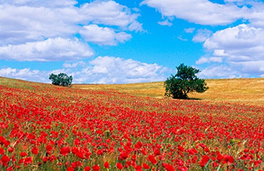 Stock Photo: 1566-058680 Poppy field. Las Bardenas Reales. Navarre. Spain