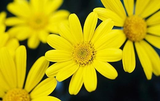 Yellow Bush Daisies (Euryops pectinatus) : Stock Photo