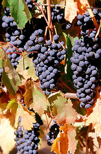 Stock Photo: 1566-060726 Grapes. Haro. La Rioja. Spain