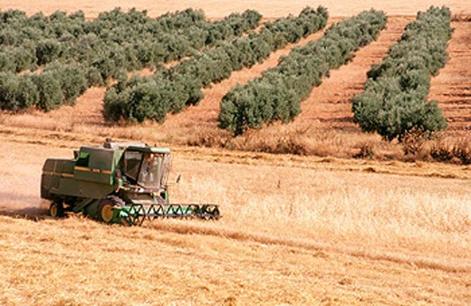 Wheat harvest, olive trees in background. Osuna. Seville province. Andalusia. Spain : Stock Photo