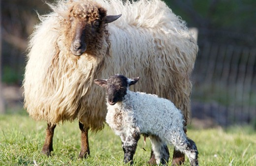 ´Latza´ sheep. Euskadi. Spain : Stock Photo