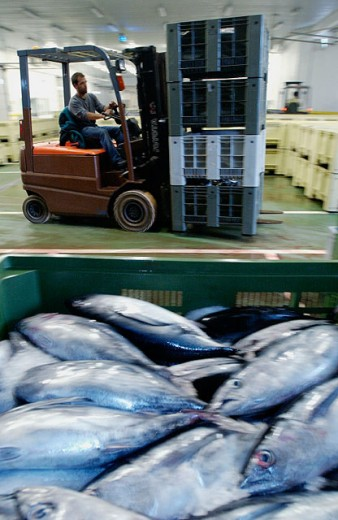 Stock Photo: 1566-061881 Manipulating tuna fish at the fish market. Getaria. Guipuzcoa. Basque Country. Spain