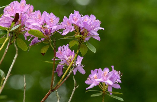 Stock Photo: 1566-061988 Rhododendron (Rhododendron sp.)
