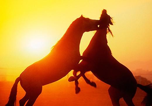 Stock Photo: 1566-064028 Carthusian horses. Jerez de la Frontera, Cádiz province. Spain