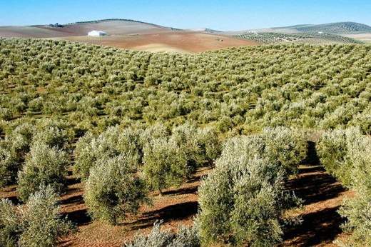 Stock Photo: 1566-064034 Olive trees. Baena, Córdoba province. Spain