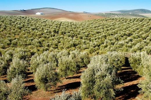 Olive trees. Baena, Córdoba province. Spain : Stock Photo
