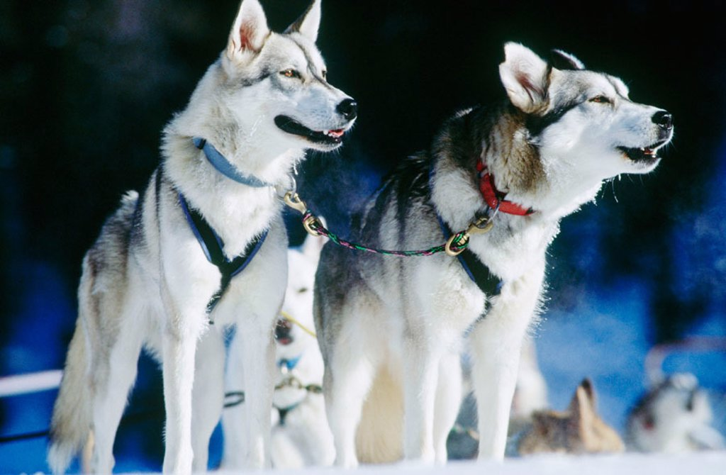 Stock Photo: 1566-070290 Sled dog team