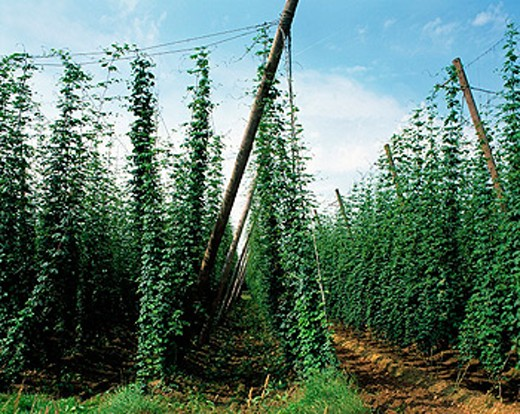 Stock Photo: 1566-070690 Hop growing. Bavaria. Germany