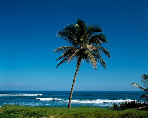 Stock Photo: 1566-070803 Palms at beach. Playa Cabarete. Dominican Republic