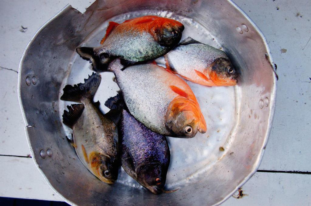 Stock Photo: 1566-074134 Piranhas from Solimões River. Manaus, Brazil