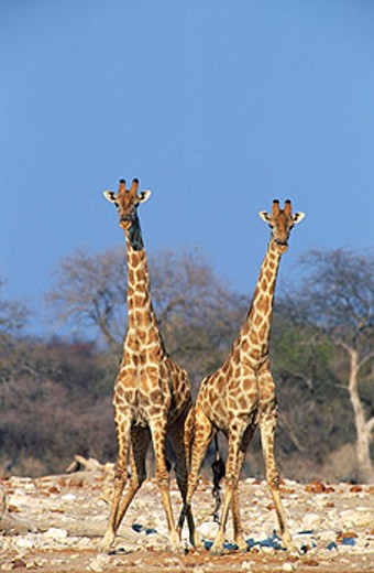 Southern Giraffe (Giraffa camelopardalis giraffa). Two bulls in a fighting mood. Etosha National Park. Namibia : Stock Photo