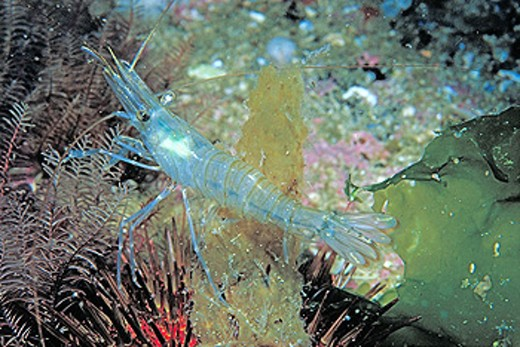 Rock Prawn (Palaemon serratus) : Stock Photo