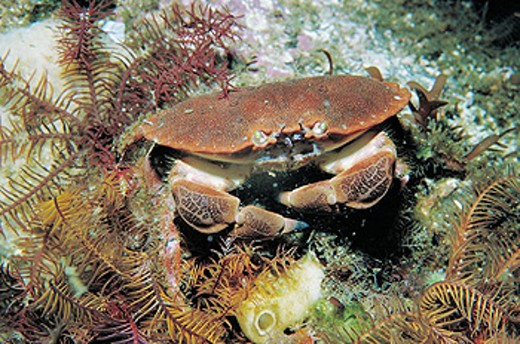 Edible Crab (Cancer pagurus) : Stock Photo