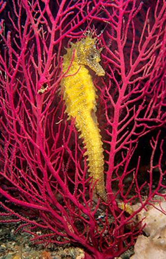 Stock Photo: 1566-077970 Sea Horse (Hippocampus ramulosus)