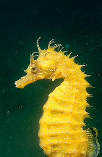 Sea Horse (Hippocampus ramulosus) : Stock Photo