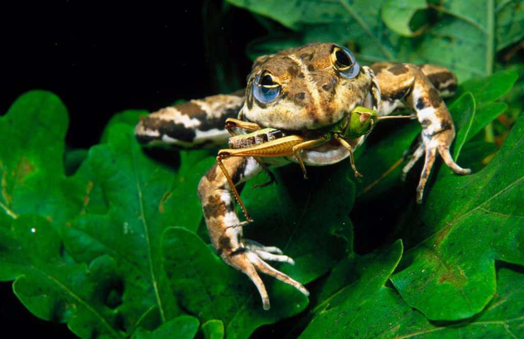 Frog (Rana perezi) devouring grasshopper : Stock Photo