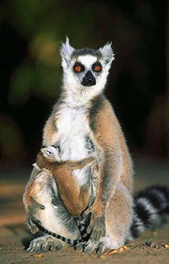 Stock Photo: 1566-080028 Ringtailed lemur (Lemur catta). Amboasary. Madagascar