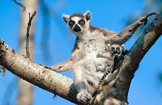 Ringtailed lemur (Lemur catta). Amboasary. Madagascar : Stock Photo