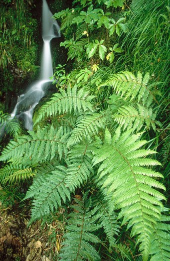 Brook with ferns. Westland National Park. New Zealand : Stock Photo