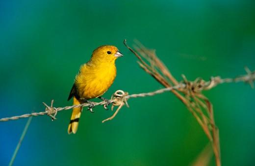 Canary Bird (Serinus canaria). Pantanal. Brazil : Stock Photo