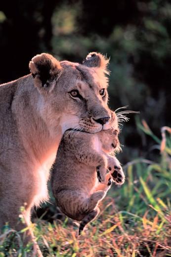 Lioness (Panthera leo) and cub. Masai Mara. Kenya : Stock Photo