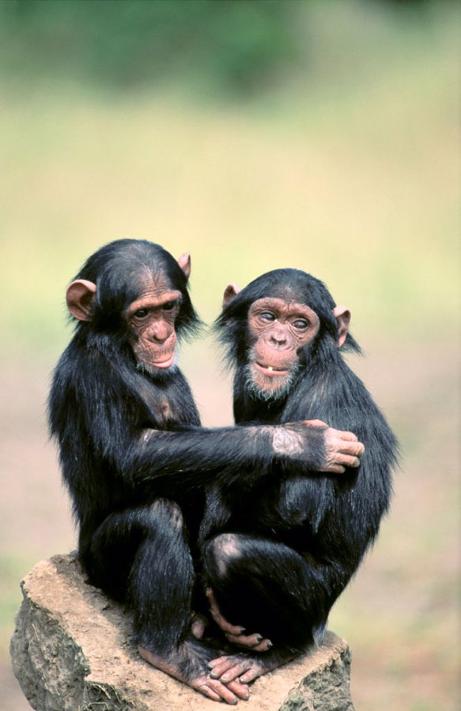 Chimpanzees (Pan troglodytes) : Stock Photo