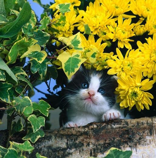 Stock Photo: 1566-080804 Kitten