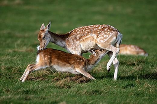 Fallow Deer (Dama dama) suckling fawn. Surrey. England : Stock Photo