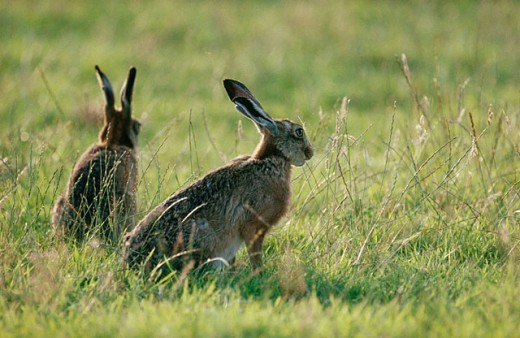 Stock Photo: 1566-080899 Brown or Cape Hare (Lepus capensis)