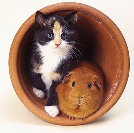 Kitten and guinea pig inside a flowerpot : Stock Photo