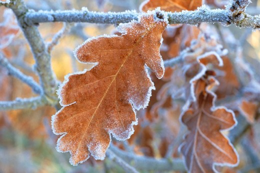 Oak (Quercus Robur) leaf in frost : Stock Photo